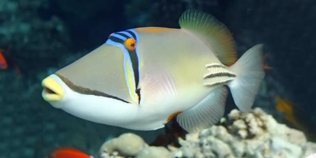 humu_picasso_triggerfish_01L